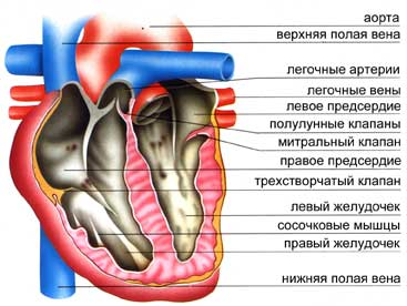 разрез сердца