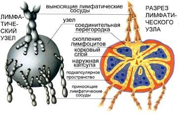 Как лечить лимфатический узел если он увеличился
