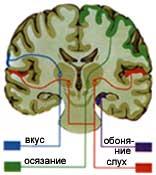 Центры чувств в головном мозге